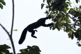 Red-backed Bearded Saki Monkey - Chiropotes chiropotes