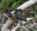 Green Ibis - Mesembrinibis cayennensis