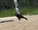 Yellow-headed Caracara - Milvago chimachima (immature)