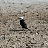 White-headed Marsh Tyrant - Arundinicola leucocephala