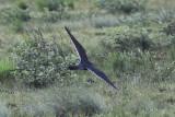 Aplomado Falcon - Falco femoralis