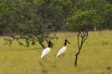 Jabiru Stork - Jabiru mycteria