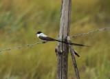 Fork-tailed Flycatcher - Tyrannus savana
