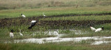 Jabiru Stork - Jabiru mycteria: Wood Stork - Mycteria americana