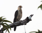 Yellow-headed Caracara - Milvago chimachima