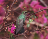 Glittering-throated Emerald - Amazilia fimbriata