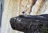 Daring Joe - Kaieteur Falls