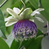 Purple Passionflower - Passiflora edulis