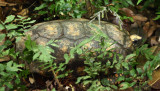 Yellow-footed Tortoise - Chelonoidis denticulata