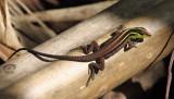 Jungle Runner Lizards - Teiidae