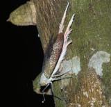 Phenacine Planthopper - Pterodycta reticularis