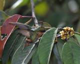 Racket-tailed Coquette - Discosura longicaudus (female)