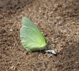Pale Sulphur -  Aphrissa statira