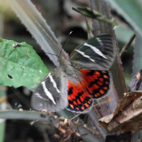 Castnia invaria (icarus)