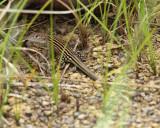 Cnemidophorus lemniscatus (juvenile)