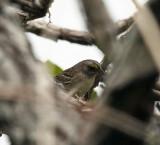 Grassland Sparrow - Ammodramus humeralis