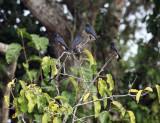 Swallow-winged Puffbird - Chelidoptera tenebrosa