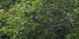 Black-necked Aracari - Pteroglossus aracari