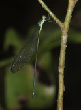 helicopter damselfly sp.