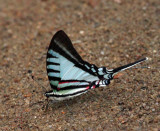 Short-lined Kite-Swallowtail - Eurytides agesilaus