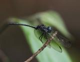 Dythemis nigra