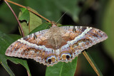 Guyana Moths & Caterpillars