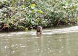 Giant River Otter - Pteronura brasiliensis