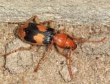Pheropsophus sp.