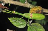 Stagmatoptera binotata
