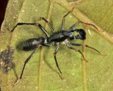 Guyana Ant-mimic Spiders