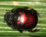 Guyana Beetles