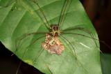 Cosmetidae (Cynorta casita ?)