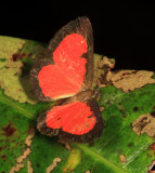 Red Metalmark - Mesene mygdon