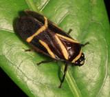 Maxantonia lineola