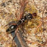 Odontomachus sp.