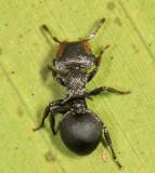 Cephalotes 1307.JPG