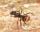 Dolichoderus sp.