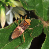 Hypselonotus  sp.