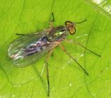 Long-legged Fly - Dolichopodidae