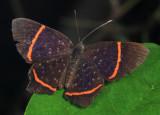 Lysippus Metalmark - Riodina lysippus