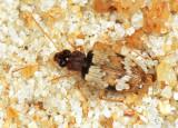 Carabidae - Tetragonoderus sp.