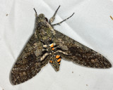 Carolina Sphinx - Manduca sexta