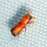 Curculionidae: Platypodinae