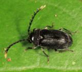 Ptilodactylidae
