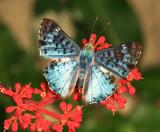 Guyana Butterflies