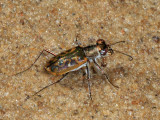 Cylindera suturalis hebraea
