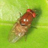 Lauxaniidae