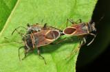 Largidae: Acinocoris nf stehliki