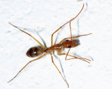 Camponotus substitutus and/or C. zonatus