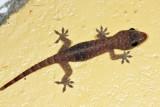Tropical House Gecko - Hemidactylus mabouia